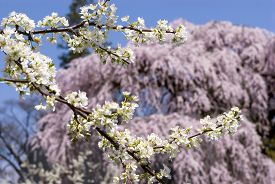 foto of weeping  - Asian plum flowers in front of weeping cherry blossoms - JPG
