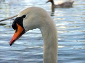 Mute Swan Glistens