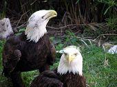 Eagles Pair