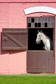 picture of lipizzaner  - White horse in barn - JPG