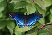Redspotted Admiral Butterfly