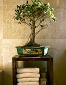 bonsai tree in bathroom