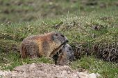 Alpine Marmot Mother And Child