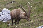 Alpine Ibex Feeding