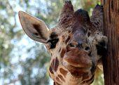 Giraffe-Nahaufnahme