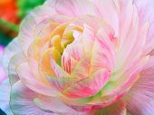 cross process photographic reproduction showing a very beautiful ranunculus flower