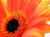 cross process reproduction showing a orange gebera daisy