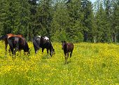 Buttercups And Horses