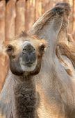 Youngl Camel