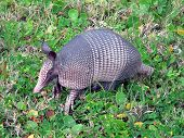 image of armadillo  - An armadillo emerges in the late afternoon along a road in Florida - JPG