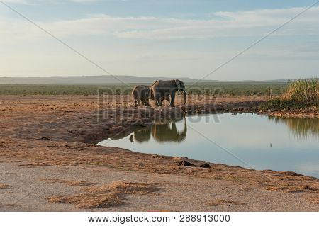 Wild Elephants At Water Hole