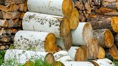 5883_the_birch_tree_logs_being_piled_up_on_the_side.jpg poster