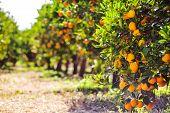 Orange Tree With Fruits, Beautigul Drove Of Orange. Ripe Organic Oranges Hanging From An Orange Tree poster