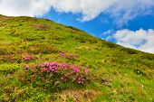 Rhododendron. Flowering Pink Rhododendron In Summer Mountains poster