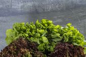 Close Up Of Green Oak Lettuce And Red Oak Lettuce On Wooden Bowl poster