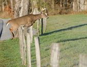 Whitetail Deer Leaping Fence
