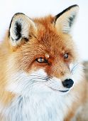 Fox portrait isolated on white