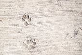 Footprints From Animals, Dogs, Cats On The Pavement. Footprints Animal In Street Tile, Textures And  poster