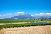 beautiful vineyard in cape town, south africa
