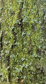 Background Tree Bark, Background Wooden Bark. Old Tree Bark, Texture Tree Bark poster