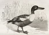 Northern Shoveler old illustration (Anas clypeata). Created by Kretschmer, published on Merveilles d