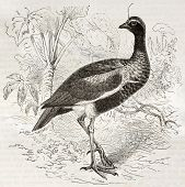Horned Screamer old illustration (Anhima cornuta). Created by Kretschmer and Illner, published on Me