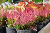 Seedlings Of Pink Heather Bushes In Pots In Garden Store. Nursery Of Various Green Plants For Garden poster