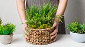 Gardener Transplanting Evergreen Plant In Wicker Pot, Closeup poster