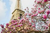 Beautiful Pink Magnolia In Full Bloom Near The Eiffel Tower In Paris, France poster