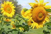 Photo Of A Beautiful Background, Sunflower In The Field.the Flowers Are Bright Yellow.large Inflores poster