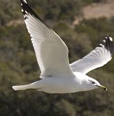 Single Gull In Flight