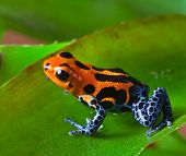 red poison dart frog sitting on green leaf in amazon rain forest of Peru exotic tropical  poisonous