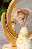 Little Fluffy Yellow Chicken Stands On A Wooden Table In The Garden And Looks At A Kitten In The Mir poster