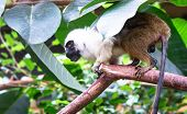 An Adult Pied Tamarin (saguinus Bicolor) Crouching On A Tree Branch. poster
