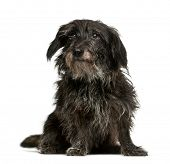 Mixed-breed dog, 13 years old, sitting in front of white background poster