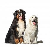 Bernese Mountain dog, Golden Retriever sitting in front of white background poster