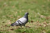 Pigeon On Grass Walking