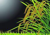 Beautiful Autumn Scenery - ripening the rice in the golden field : vector illustration