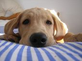 Cute Golden Labrador