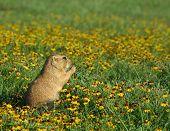 Prairie Dog In Flowers