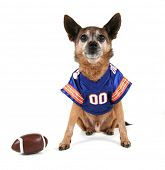 a chihuahua dressed up in a football uniform
