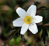 White European Wood Aneomone (anemone Nemorosa) Or Windflower.