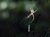 The Golden Spider  Waiting For Its Prey - 1