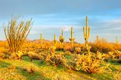 picture of ocotillo  - Sonoran Desert bathing in day - JPG