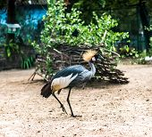 beautiful African Crowned Crane in zoo