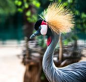 beautiful portrait African Crowned Crane in zoo
