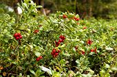Lingonberries / Cowberries On Forest Floor
