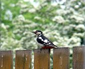 Great Spotted Woodpecker,dendrocopus Major