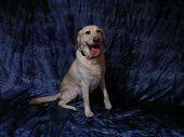 Happy Labrador Retriever poster
