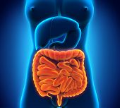 image of anus  - Illustration of Intestinal Internal Organs - JPG